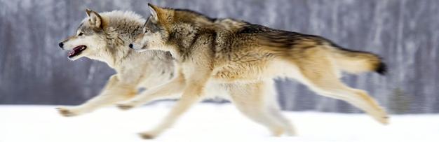 Wolves CBD